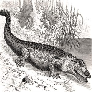 Sketch of an Alligator